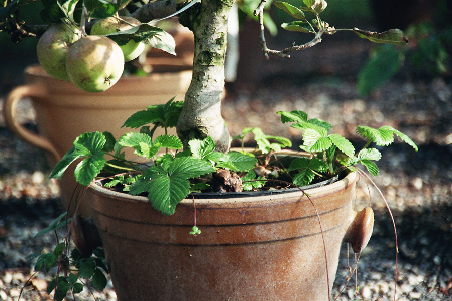 zwerg obstbaume topfen kubeln balkon – sweetmenu, Terrassen ideen